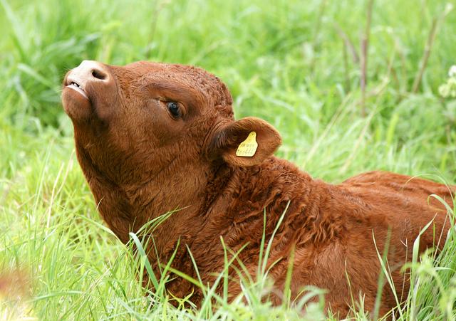 Отел. Прием теленка и уход за коровой