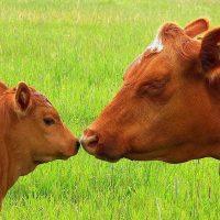 28763 Как раздоить корову