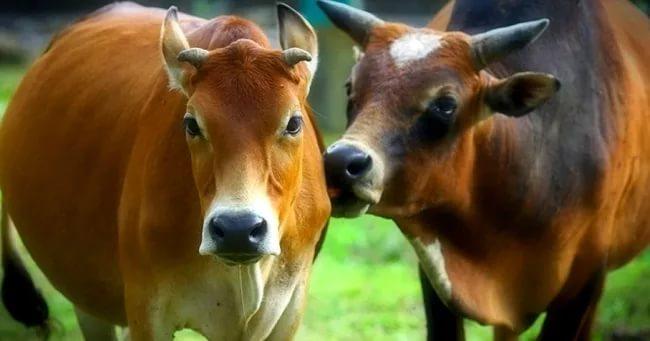 Как осеменить корову или телку