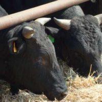 28797 Кормление и содержание быков-производителей