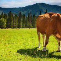 28801 Пастбищно-стойловое содержание коров