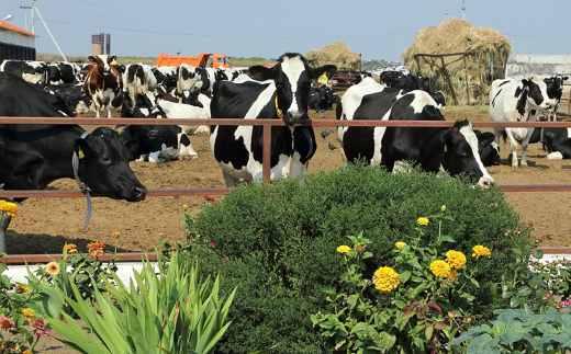 Пастбищно-стойловое содержание коров