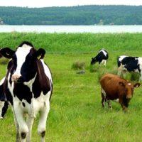 Доение коров: ручное и машинное фото - 16048 200x200