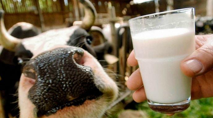 Молочная продуктивность коров: способы планирования