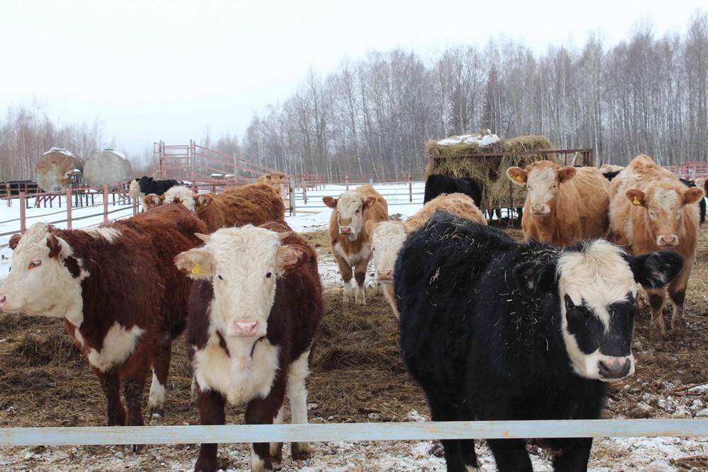 Организация воспроизводства стада коров
