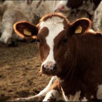 28828 Организация воспроизводства стада коров