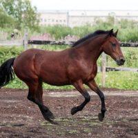 28861 Рысистые породы лошадей