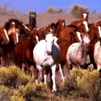 Содержание лошадей в табуне фото - 17026 200x200