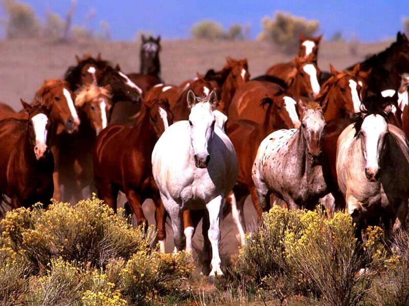 Содержание лошадей в табуне