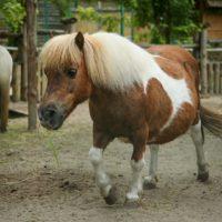 Пони – разведение и содержание фото - 17201 200x200