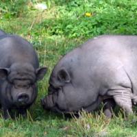 Породы свиней фото - 17299 200x200