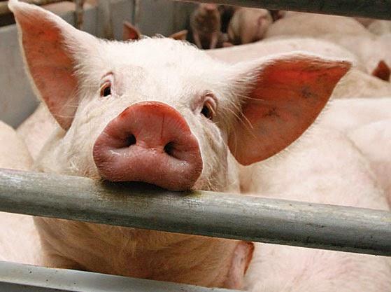 Психологическая характеристика домашней свиньи фото - 17301