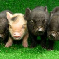Психологическая характеристика домашней свиньи фото - 17302 200x200