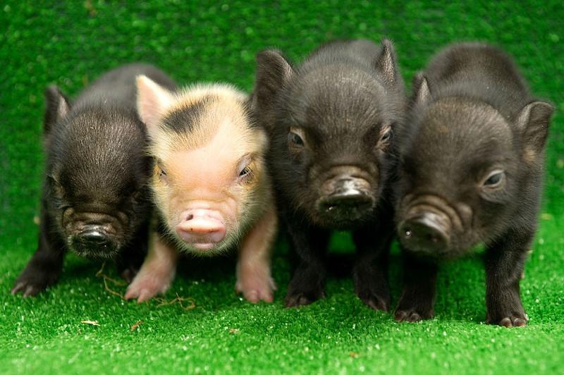 Психологическая характеристика домашней свиньи