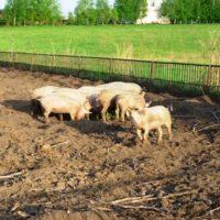 Жилище для свиней фото - 17303 200x200