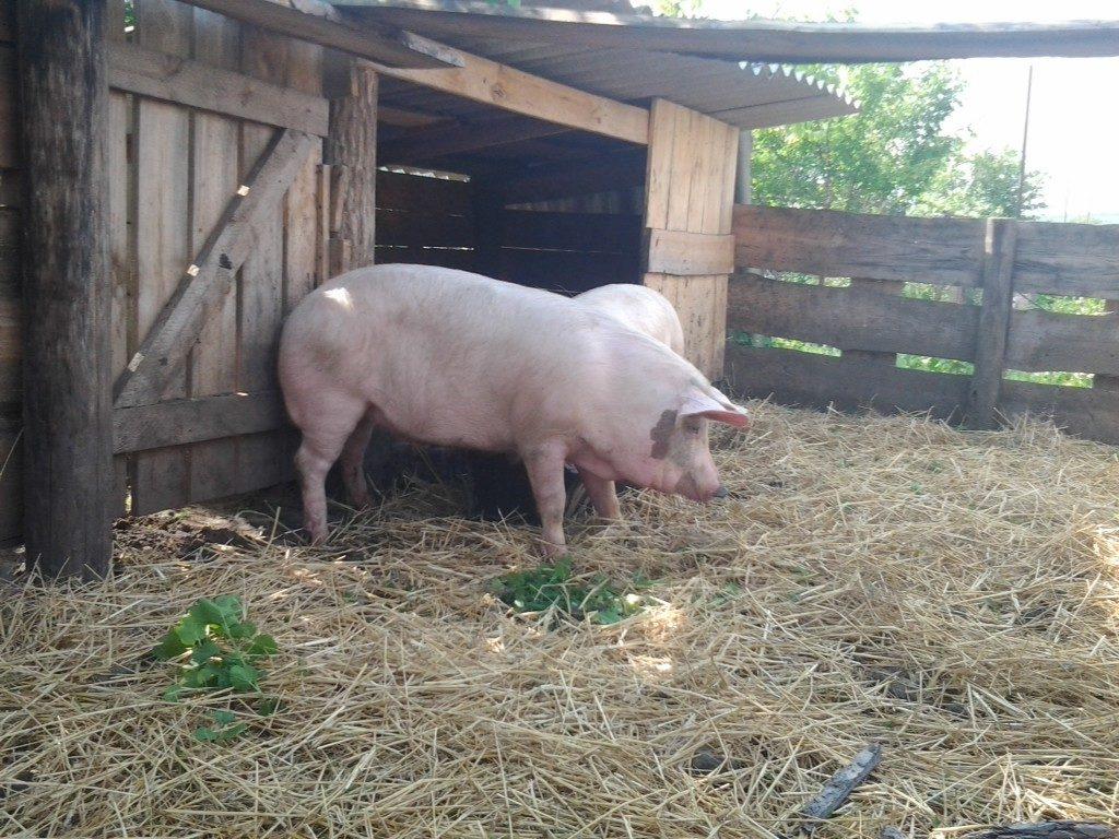 Жилище для свиней фото - 17304 1024x768