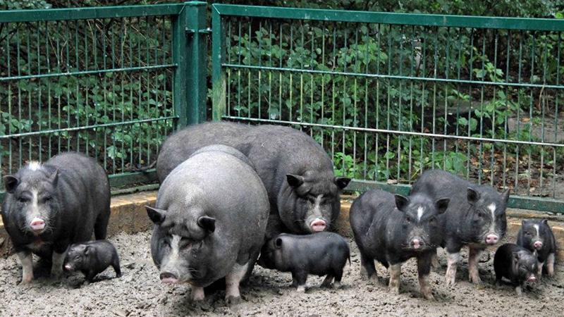 Жилище для свиней фото - 17305