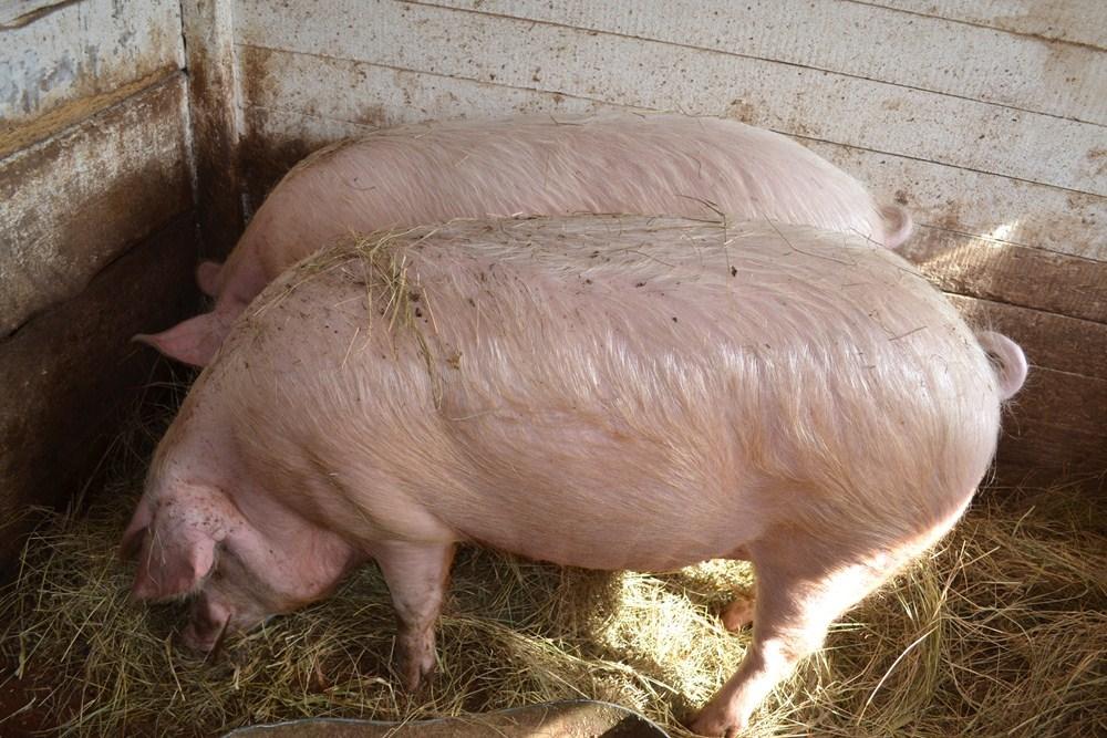 Доращивание поросят и откорм свиней