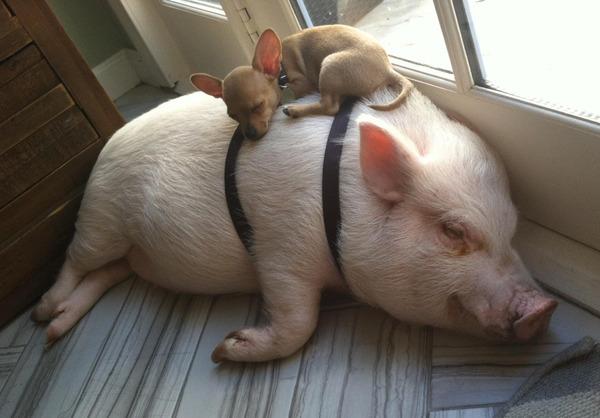 Доращивание поросят и откорм свиней фото - 17733