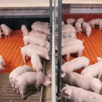 28989 Доращивание поросят и откорм свиней