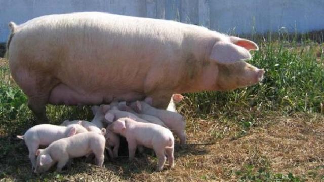 Характеристика кормов для свиней фото - 17735