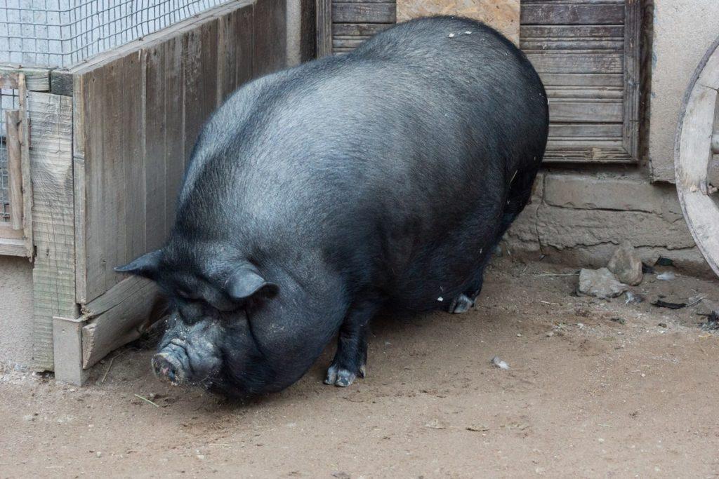 Характеристика кормов для свиней фото - 17736 1024x683