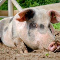 Характеристика кормов для свиней фото - 17737 200x200