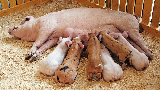 Многоплодная свиноматка