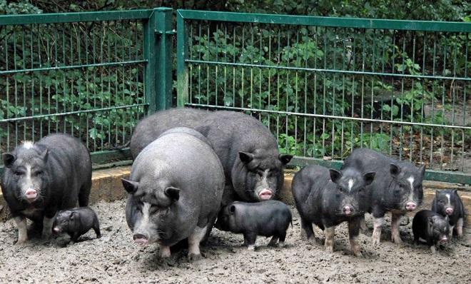 Многоплодная свиноматка фото - 18009