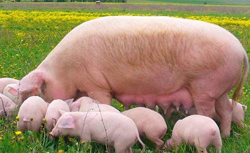 Многоплодная свиноматка фото - 18010