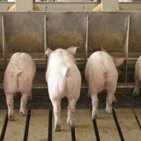 29003 Откорм свиней