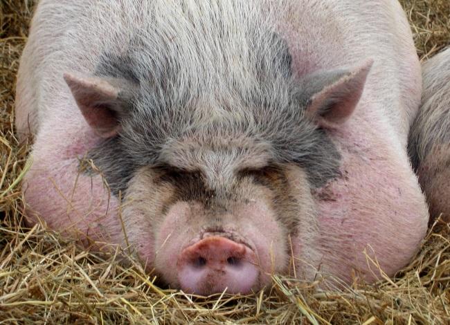 Откорм свиней фото - 18012