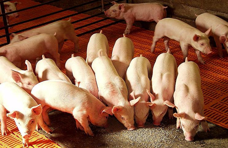 Откорм свиней фото - 18013