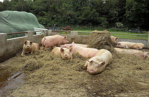 Различные виды откорма свиней фото - 18014