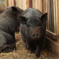 Различные виды откорма свиней фото - 18015 200x200