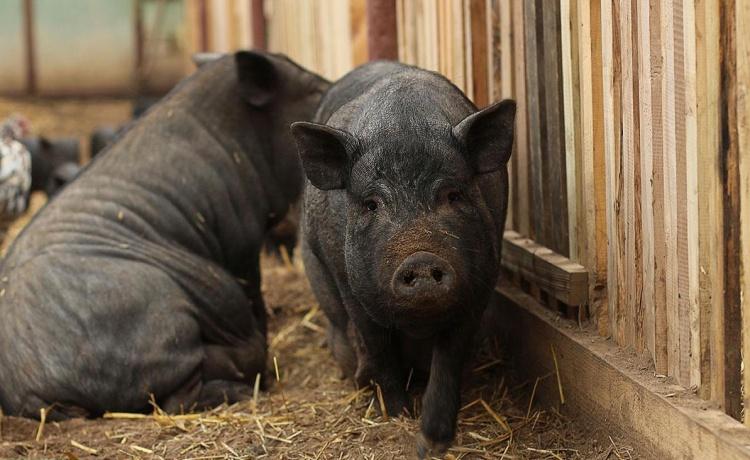 Различные виды откорма свиней