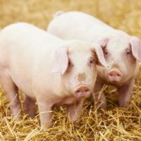 29016 Болезни свиней