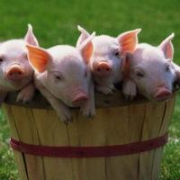 29021 Профилактика заболеваний свиней