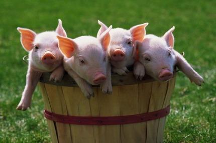 Профилактика заболеваний свиней