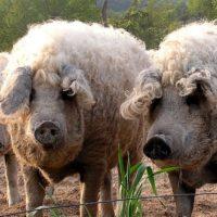 29061 Убой свиней