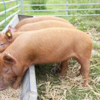 Свиноводство в стране фото - 18428 200x200