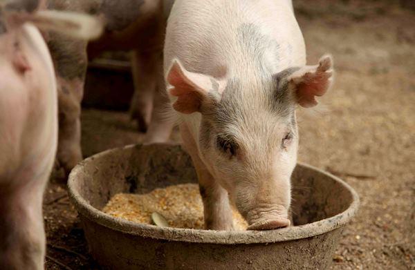 Как выбрать комбикорм для свиней? фото - 18429 1