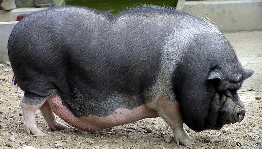 Популярные породы свиней: Вьетнамская вислобрюхая фото - 18431