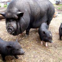 29073 Популярные породы свиней: Вьетнамская вислобрюхая