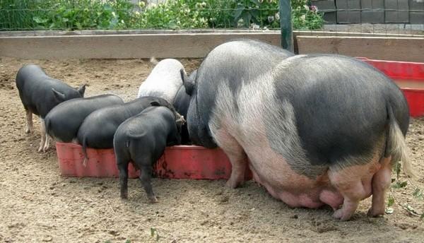 Популярные породы свиней: Вьетнамская вислобрюхая