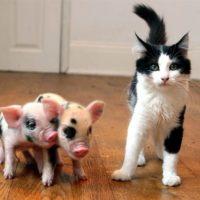 Советы начинающему свиноводу фото - 18434 200x200