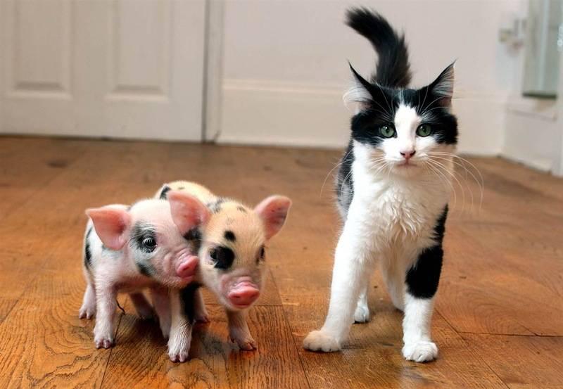 Советы начинающему свиноводу