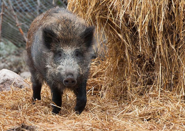 Советы начинающему свиноводу фото - 18436