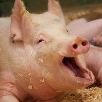 29081 Эффективный откорм свиней