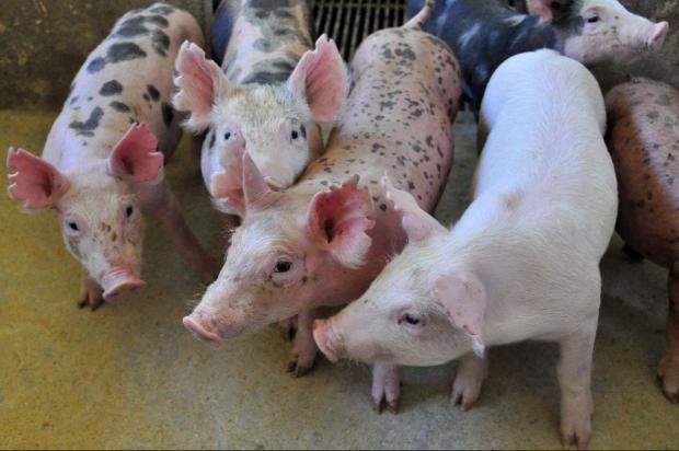 Эффективный откорм свиней фото - 18625